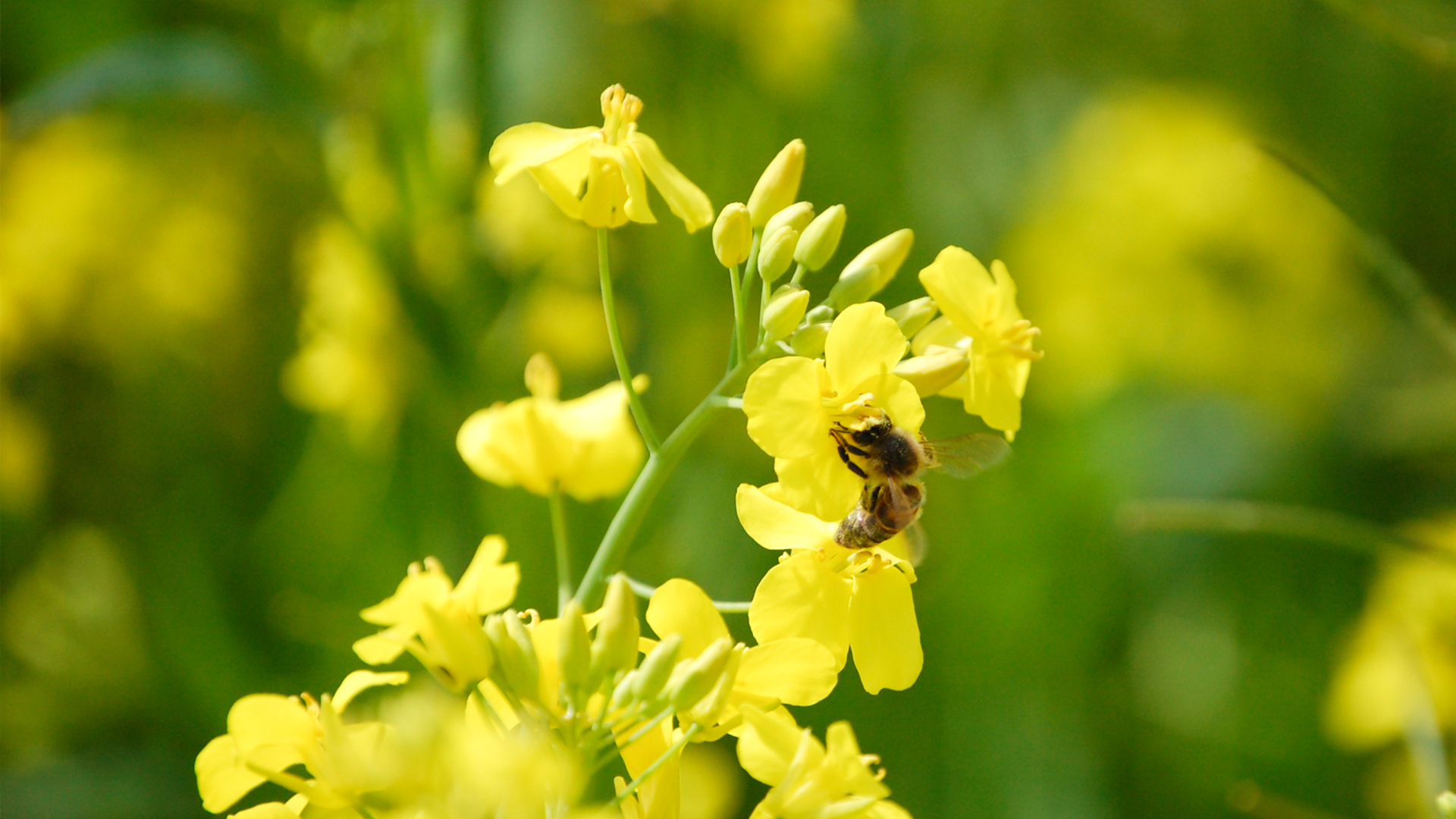 Mehiläinen kevätrypsin kukassa.