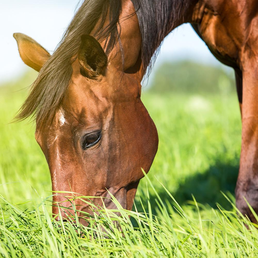Hevonen laiduntamassa.