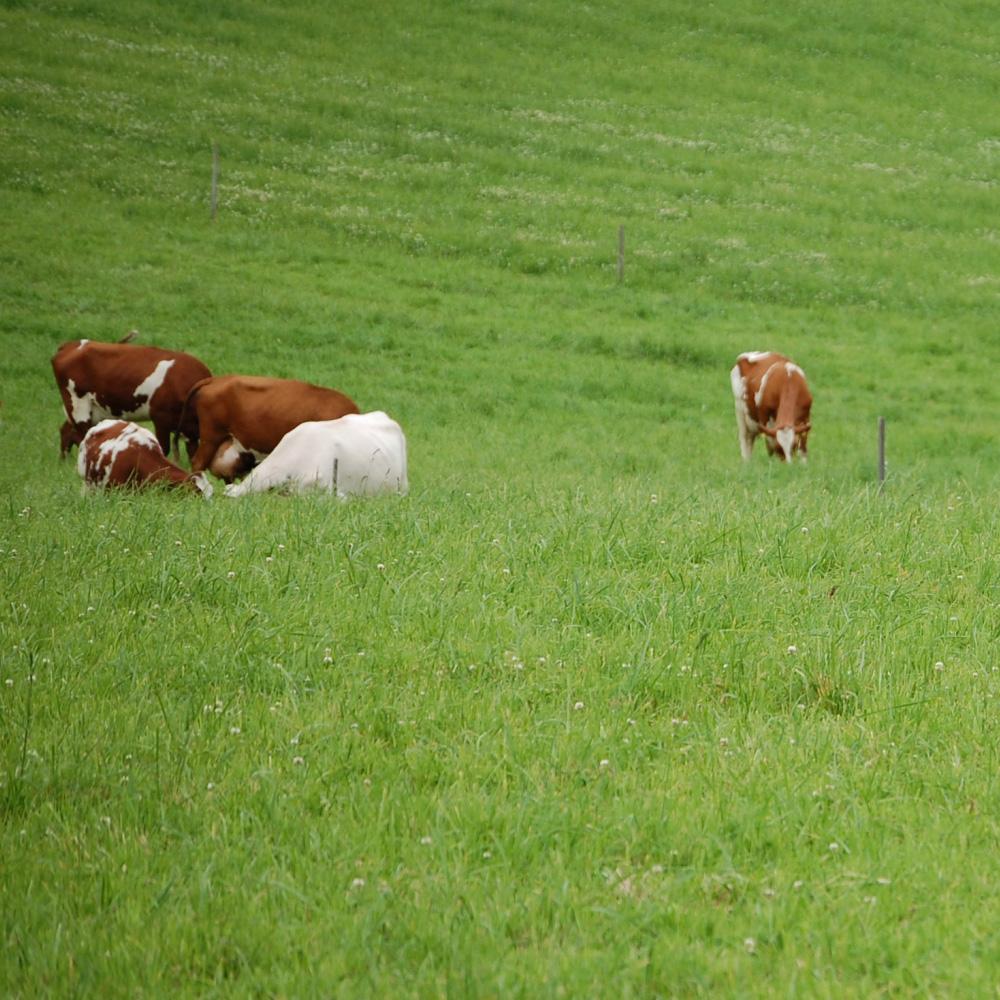 Lehmiä laiduntamassa.